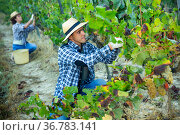 Owner of vineyard gathering harvest of white grapes. Стоковое фото, фотограф Яков Филимонов / Фотобанк Лори