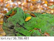 Baumstumpf mit Moos, herbstliche Blätter, Стоковое фото, фотограф Zoonar.com/Bildagentur Geduldig / easy Fotostock / Фотобанк Лори