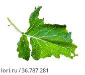 Green leaf of kohlrabi plant isolated on white background. Стоковое фото, фотограф Zoonar.com/Valery Voennyy / easy Fotostock / Фотобанк Лори