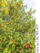 Ilex aquifolium. Стоковое фото, фотограф Alain Kubacsi / age Fotostock / Фотобанк Лори
