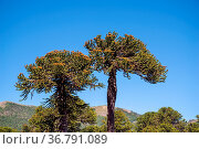 Die Araukarien (Araucaria) sind eine Pflanzengattung in der Familie... Стоковое фото, фотограф Zoonar.com/THOMAS RIESS / age Fotostock / Фотобанк Лори