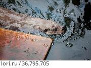 Beaver swimming in water. Стоковое фото, фотограф Zoonar.com/Juhani Viitanen / easy Fotostock / Фотобанк Лори