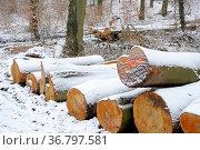 Holz im Winterwald mit Schnee, Langholzstämme aus Buche mit Schnee, Стоковое фото, фотограф Zoonar.com/Bildagentur Geduldig / easy Fotostock / Фотобанк Лори