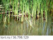 Entenküken schwimmen in einem Gewässer versteckt hinter Schilfgräsern... Стоковое фото, фотограф Zoonar.com/Bastian Kienitz / easy Fotostock / Фотобанк Лори