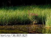 Veronica longifolia flower growing at lake shore grass in Finland. Стоковое фото, фотограф Zoonar.com/JuhaniViitanen / easy Fotostock / Фотобанк Лори