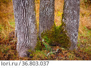 A close-up view of a trio of tree trunks. Стоковое фото, фотограф Zoonar.com/Tomas Nevesely / easy Fotostock / Фотобанк Лори