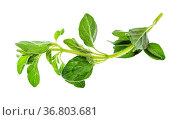 Twig of fresh Oregano herb isolated on white background. Стоковое фото, фотограф Zoonar.com/Valery Voennyy / easy Fotostock / Фотобанк Лори
