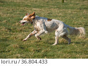 An English setter rescue dog running in hunting mood, mouth open, ears blown back, front paws off the ground and tail flowing behind in February sunlight, Berkshire, UK. Стоковое фото, фотограф Nigel Cattlin / Nature Picture Library / Фотобанк Лори