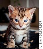 Cute bengal kitten at home. Стоковое фото, фотограф Zoonar.com/Juhani Viitanen / easy Fotostock / Фотобанк Лори