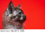 Head of cute small kitty Maine Coon with furry fur of color black smoke. Portrait on red background. Стоковое фото, фотограф А. А. Пирагис / Фотобанк Лори