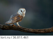Barn owl (Tyto alba) perched on tree branch at dusk. Northamptonshire, UK, May. Стоковое фото, фотограф Danny Green / Nature Picture Library / Фотобанк Лори