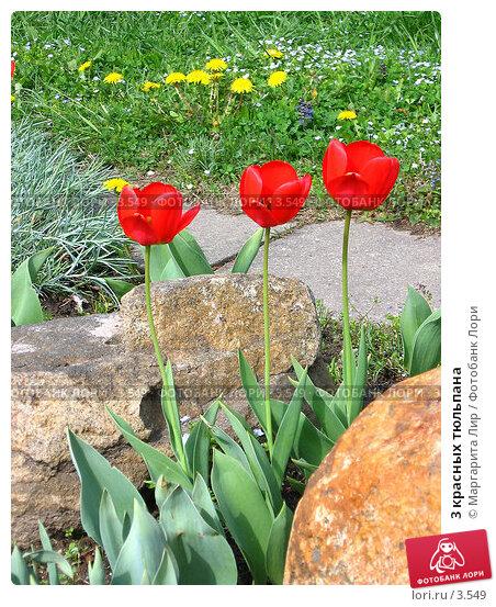 3 красных тюльпана, фото № 3549, снято 23 мая 2017 г. (c) Маргарита Лир / Фотобанк Лори