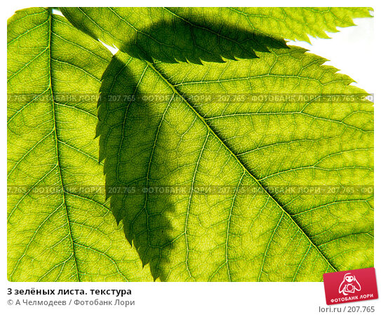 3 зелёных листа. текстура, фото № 207765, снято 18 мая 2006 г. (c) A Челмодеев / Фотобанк Лори