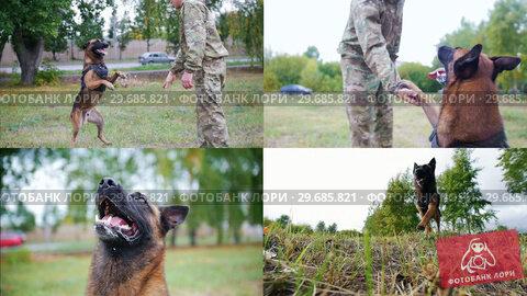 Купить «4 in 1: A man dog handler trains his shepherd dog», видеоролик № 29685821, снято 22 января 2019 г. (c) Константин Шишкин / Фотобанк Лори