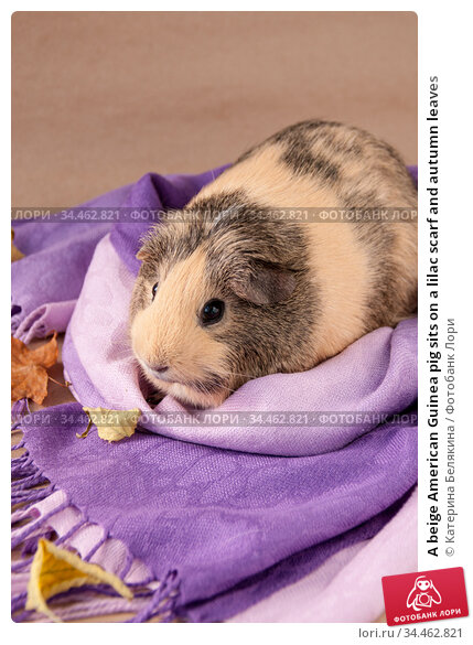 A beige American Guinea pig sits on a lilac scarf and autumn leaves. Стоковое фото, фотограф Катерина Белякина / Фотобанк Лори