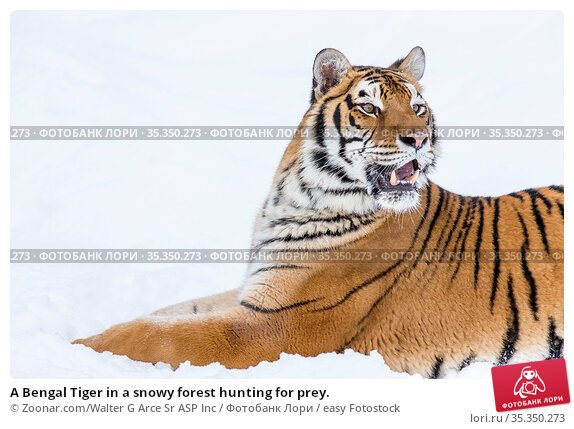 A Bengal Tiger in a snowy forest hunting for prey. Стоковое фото, фотограф Zoonar.com/Walter G Arce Sr ASP Inc / easy Fotostock / Фотобанк Лори