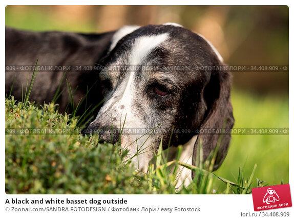 A black and white basset dog outside. Стоковое фото, фотограф Zoonar.com/SANDRA FOTODESIGN / easy Fotostock / Фотобанк Лори