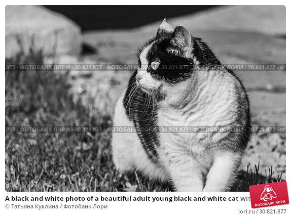 Купить «A black and white photo of a beautiful adult young black and white cat with big eyes», фото № 30821877, снято 26 мая 2019 г. (c) Татьяна Куклина / Фотобанк Лори