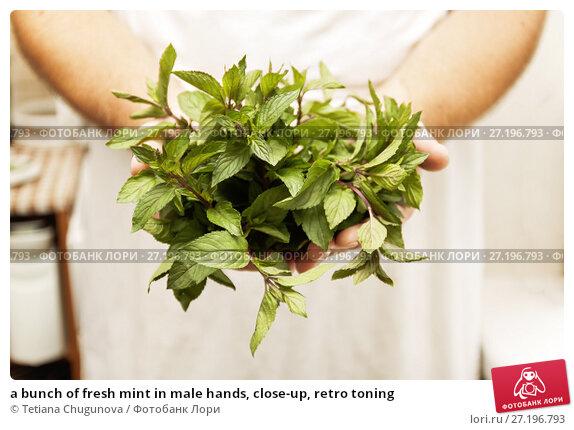 Купить «a bunch of fresh mint in male hands, close-up, retro toning», фото № 27196793, снято 28 августа 2017 г. (c) Tetiana Chugunova / Фотобанк Лори