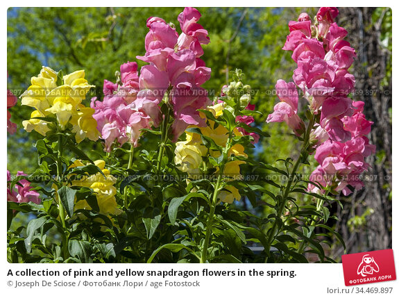 A collection of pink and yellow snapdragon flowers in the spring. Стоковое фото, фотограф Joseph De Sciose / age Fotostock / Фотобанк Лори
