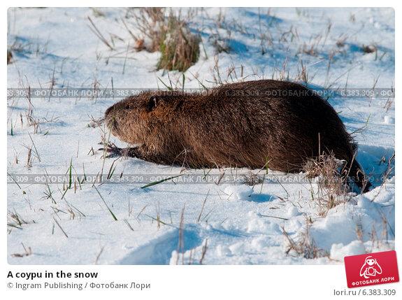 Купить «A coypu in the snow», фото № 6383309, снято 15 февраля 2020 г. (c) Ingram Publishing / Фотобанк Лори