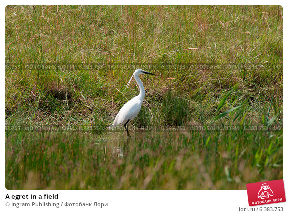 Купить «A egret in a field», фото № 6383753, снято 23 июля 2019 г. (c) Ingram Publishing / Фотобанк Лори