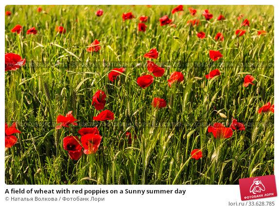 Купить «A field of wheat with red poppies on a Sunny summer day», фото № 33628785, снято 12 мая 2014 г. (c) Наталья Волкова / Фотобанк Лори