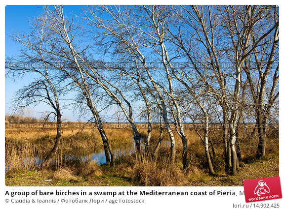 Купить «A group of bare birches in a swamp at the Mediterranean coast of Pieria, Macedonia, nothern Greece», фото № 14902425, снято 1 июля 2012 г. (c) age Fotostock / Фотобанк Лори