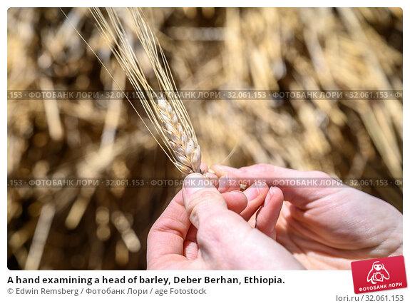 A hand examining a head of barley, Deber Berhan, Ethiopia. Стоковое фото, фотограф Edwin Remsberg / age Fotostock / Фотобанк Лори
