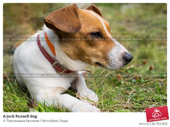 Купить «A Jack Russell dog.», фото № 26753833, снято 8 августа 2017 г. (c) Типляшина Евгения / Фотобанк Лори