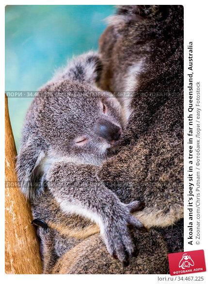 A koala and it's joey sit in a tree in far nth Queensland, Australia. Стоковое фото, фотограф Zoonar.com/Chris Putnam / easy Fotostock / Фотобанк Лори