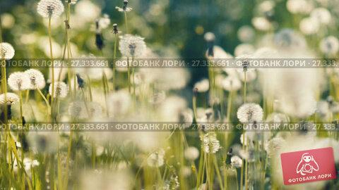 Купить «A lot of dandelions at field», видеоролик № 27333661, снято 24 мая 2017 г. (c) Илья Шаматура / Фотобанк Лори