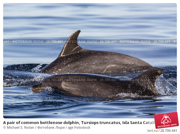 Купить «A pair of common bottlenose dolphin, Tursiops truncatus, Isla Santa Catalina, Baja California Sur, Mexico.», фото № 28700441, снято 9 апреля 2016 г. (c) age Fotostock / Фотобанк Лори