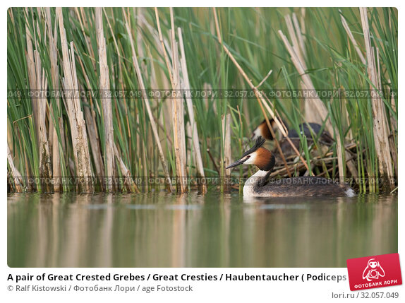 A pair of Great Crested Grebes / Great Cresties / Haubentaucher ( Podiceps cristatus ) nests in a reed belt. Стоковое фото, фотограф Ralf Kistowski / age Fotostock / Фотобанк Лори