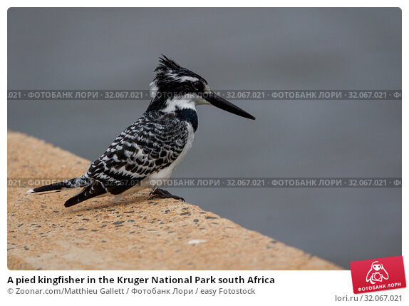 A pied kingfisher in the Kruger National Park south Africa. Стоковое фото, фотограф Zoonar.com/Matthieu Gallett / easy Fotostock / Фотобанк Лори