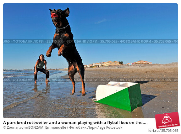 A purebred rottweiler and a woman playing with a flyball box on the... Стоковое фото, фотограф Zoonar.com/BONZAMI Emmanuelle / age Fotostock / Фотобанк Лори