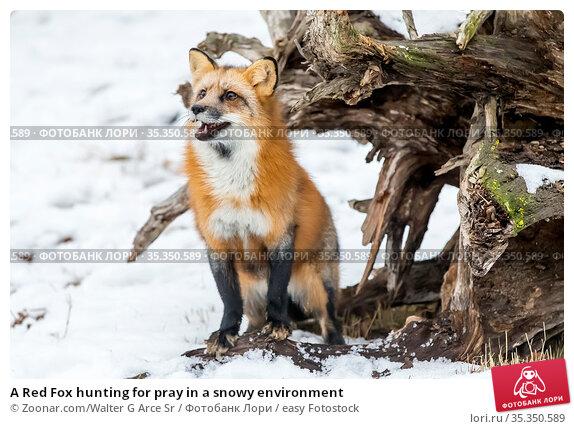 A Red Fox hunting for pray in a snowy environment. Стоковое фото, фотограф Zoonar.com/Walter G Arce Sr / easy Fotostock / Фотобанк Лори