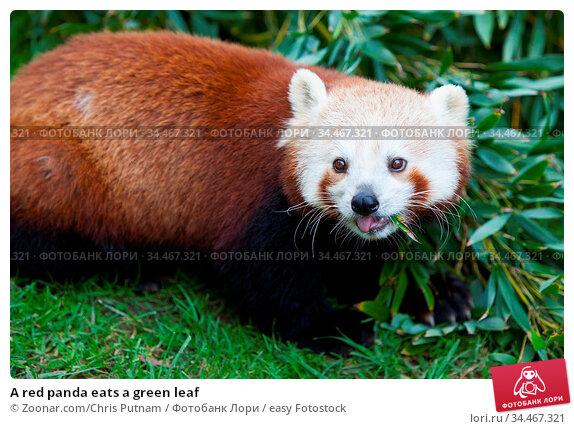 A red panda eats a green leaf. Стоковое фото, фотограф Zoonar.com/Chris Putnam / easy Fotostock / Фотобанк Лори