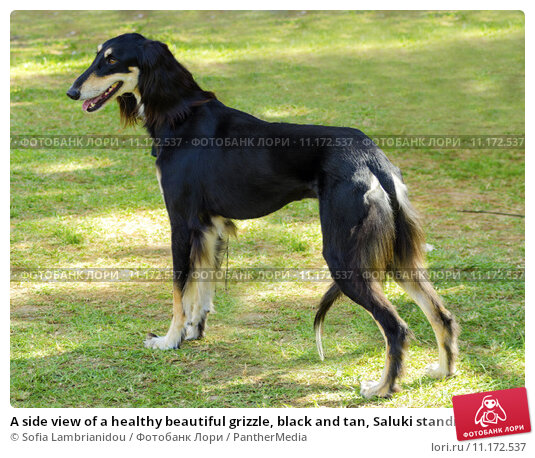 Купить «A side view of a healthy beautiful grizzle, black and tan, Saluki standing on the lawn looking happy and cheerful. Persian Greyhound dogs are slim and slender with a long narrow head.», фото № 11172537, снято 15 сентября 2019 г. (c) PantherMedia / Фотобанк Лори