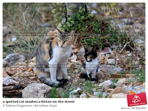 a spotted cat washes a kitten on the street. Стоковое фото, фотограф Tetiana Chugunova / Фотобанк Лори
