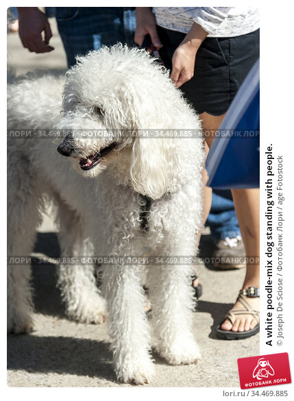 A white poodle-mix dog standing with people. Стоковое фото, фотограф Joseph De Sciose / age Fotostock / Фотобанк Лори