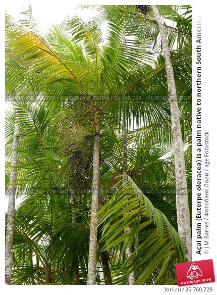 Açai palm (Euterpe oleracea) is a palm native to northern South America... Стоковое фото, фотограф J M Barres / age Fotostock / Фотобанк Лори