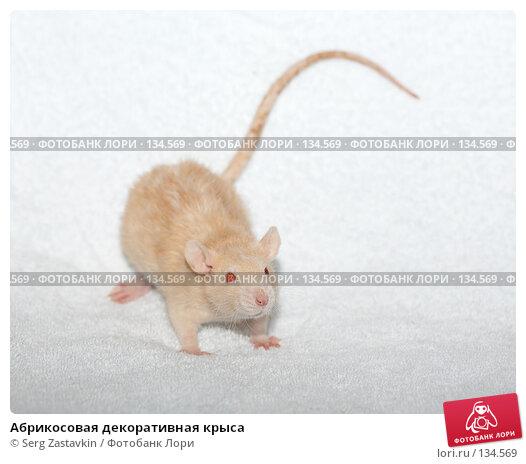 Абрикосовая декоративная крыса, фото № 134569, снято 11 октября 2006 г. (c) Serg Zastavkin / Фотобанк Лори