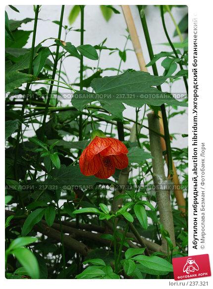 Абутилон гибридный,abutilon hibridum.Ужгородский ботанический сад, фото № 237321, снято 18 марта 2008 г. (c) Мирослава Безман / Фотобанк Лори