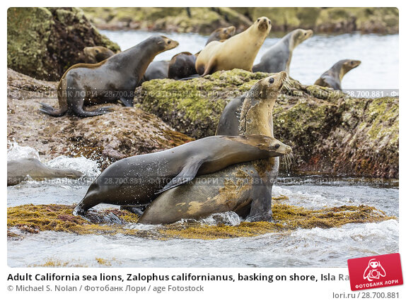 Купить «Adult California sea lions, Zalophus californianus, basking on shore, Isla Rasa, Baja California, Mexico.», фото № 28700881, снято 7 апреля 2016 г. (c) age Fotostock / Фотобанк Лори