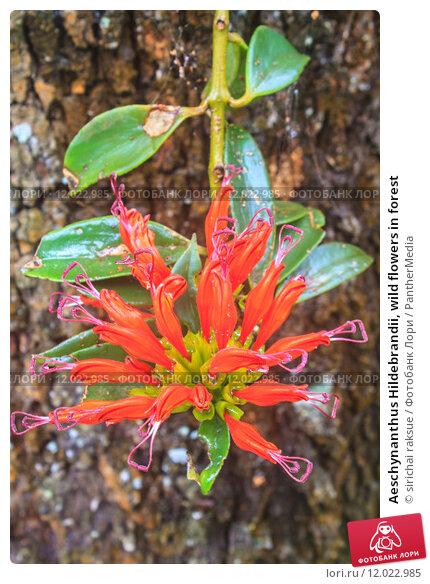 Купить «Aeschynanthus Hildebrandii, wild flowers in forest», фото № 12022985, снято 23 февраля 2019 г. (c) PantherMedia / Фотобанк Лори