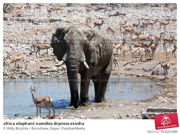 africa elephant namibia dryness etosha. Стоковое фото, фотограф Willy Brüchle / PantherMedia / Фотобанк Лори