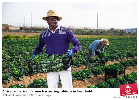 African-american farmer harvesting cabbage in farm field. Стоковое фото, фотограф Яков Филимонов / Фотобанк Лори