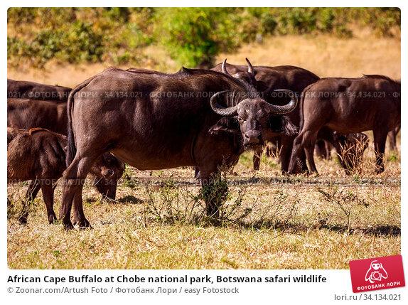 Купить «African Cape Buffalo at Chobe national park, Botswana safari wildlife», фото № 34134021, снято 3 июля 2020 г. (c) easy Fotostock / Фотобанк Лори