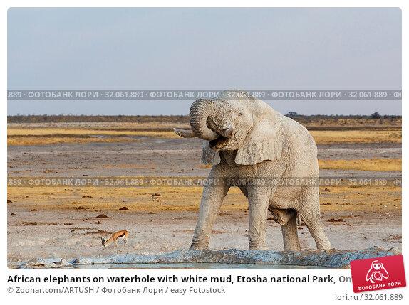African elephants on waterhole with white mud, Etosha national Park, Ombika, Kunene, Namibia. True wildlife photography. Стоковое фото, фотограф Zoonar.com/ARTUSH / easy Fotostock / Фотобанк Лори